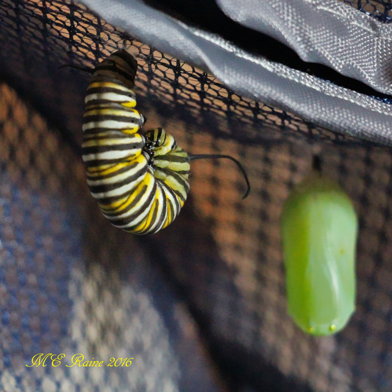 monarch-butterfly-with-chrysalsisno-2-pre-chrysalis-stage-safe-house-1-090716-near-mdnght-ok-wm-2