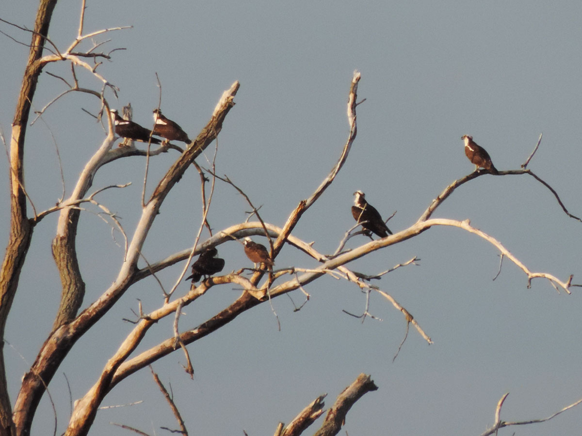 osprey-rbp-rich-brown-9-9-16