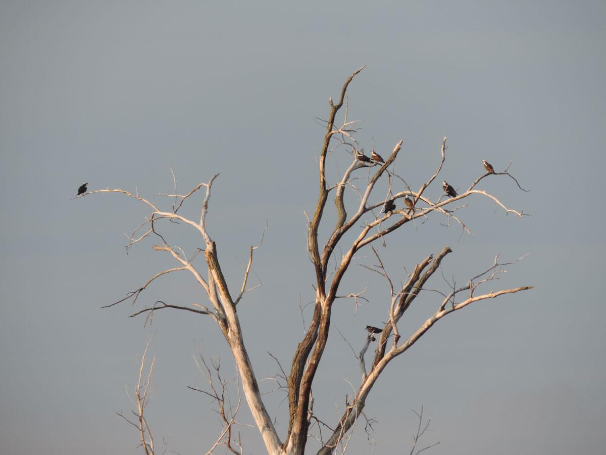 osprey-rich-brown-9-9-16-rbp