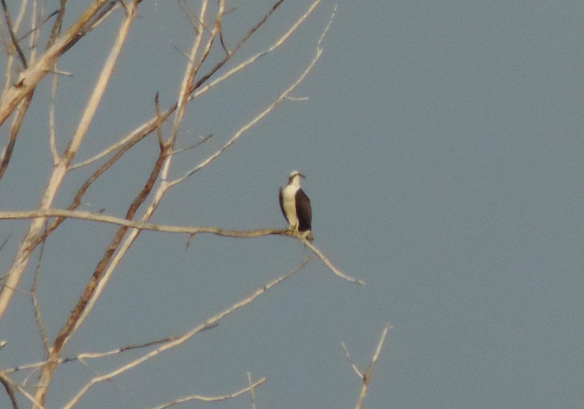 osprey3-rbp-rich-brown-9-9-16