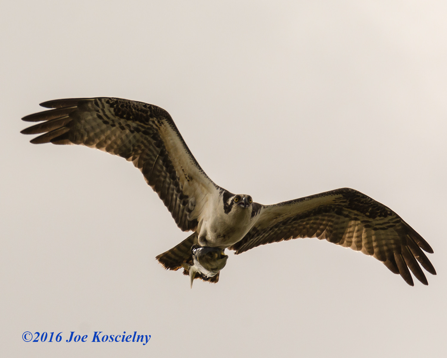 Ospreys with Fish