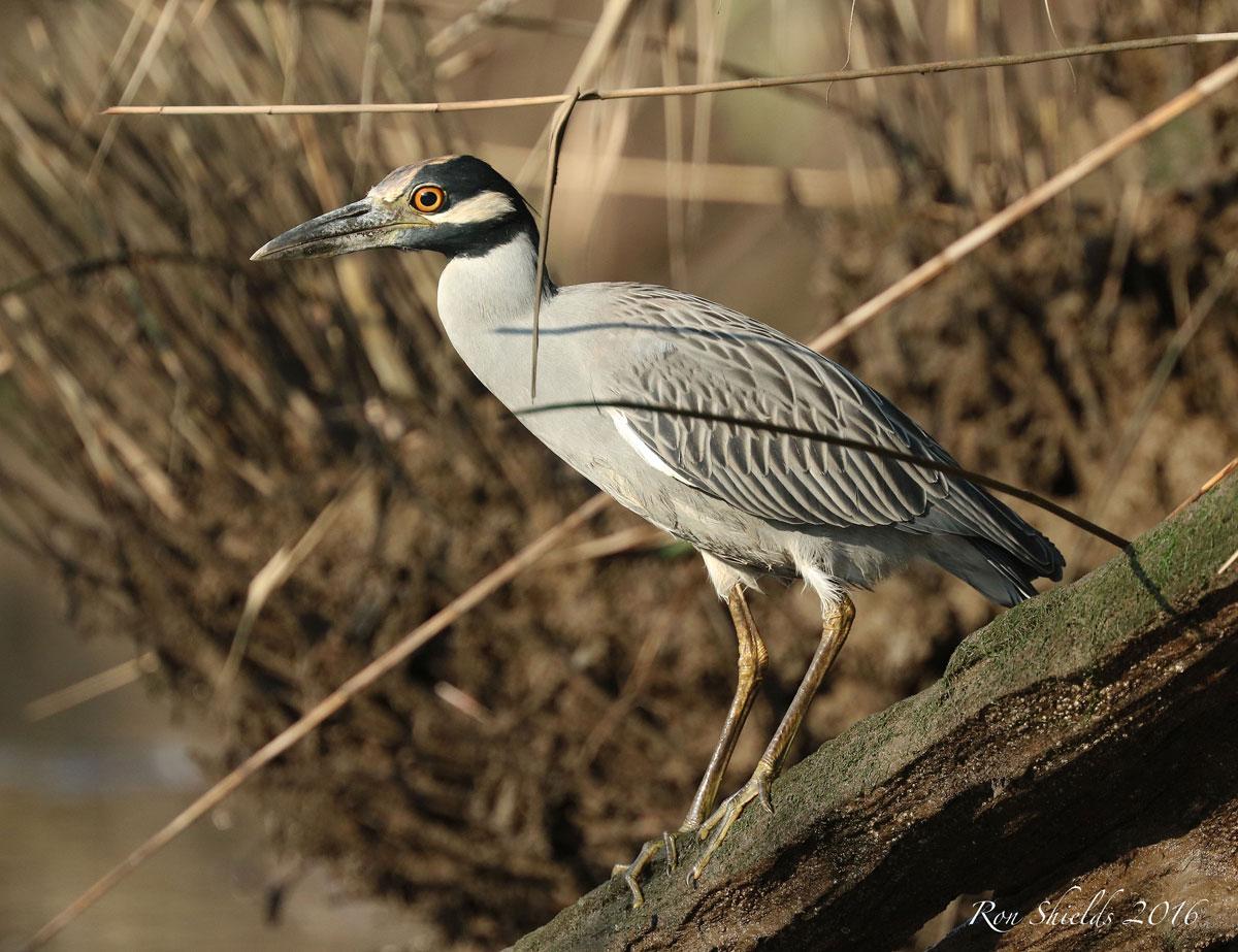 yellow-crowned-night-heron-shields-wma-9-13-16