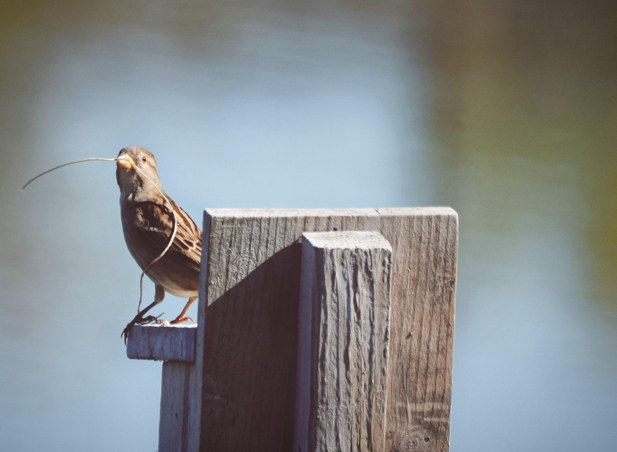 ceragno-house-sparrow-dekorte-10-15-16