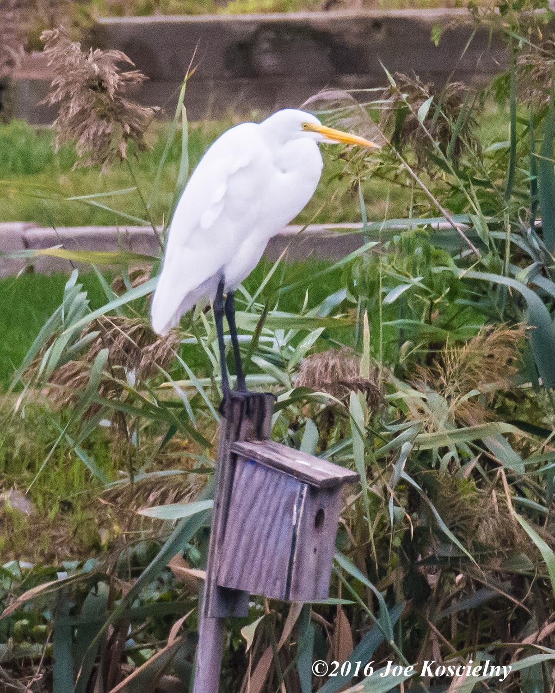 dekorte-10-2-16-g-egret-house-sitter-7