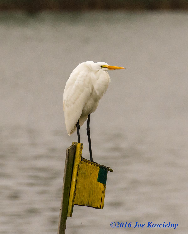 dekorte-10-2-16-g-egret-house-sitter-8-3