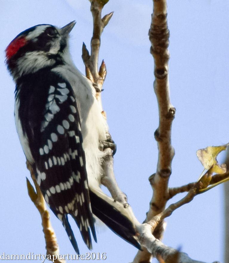 downy-woodpecker-dekorte-10-15-16-ceragno