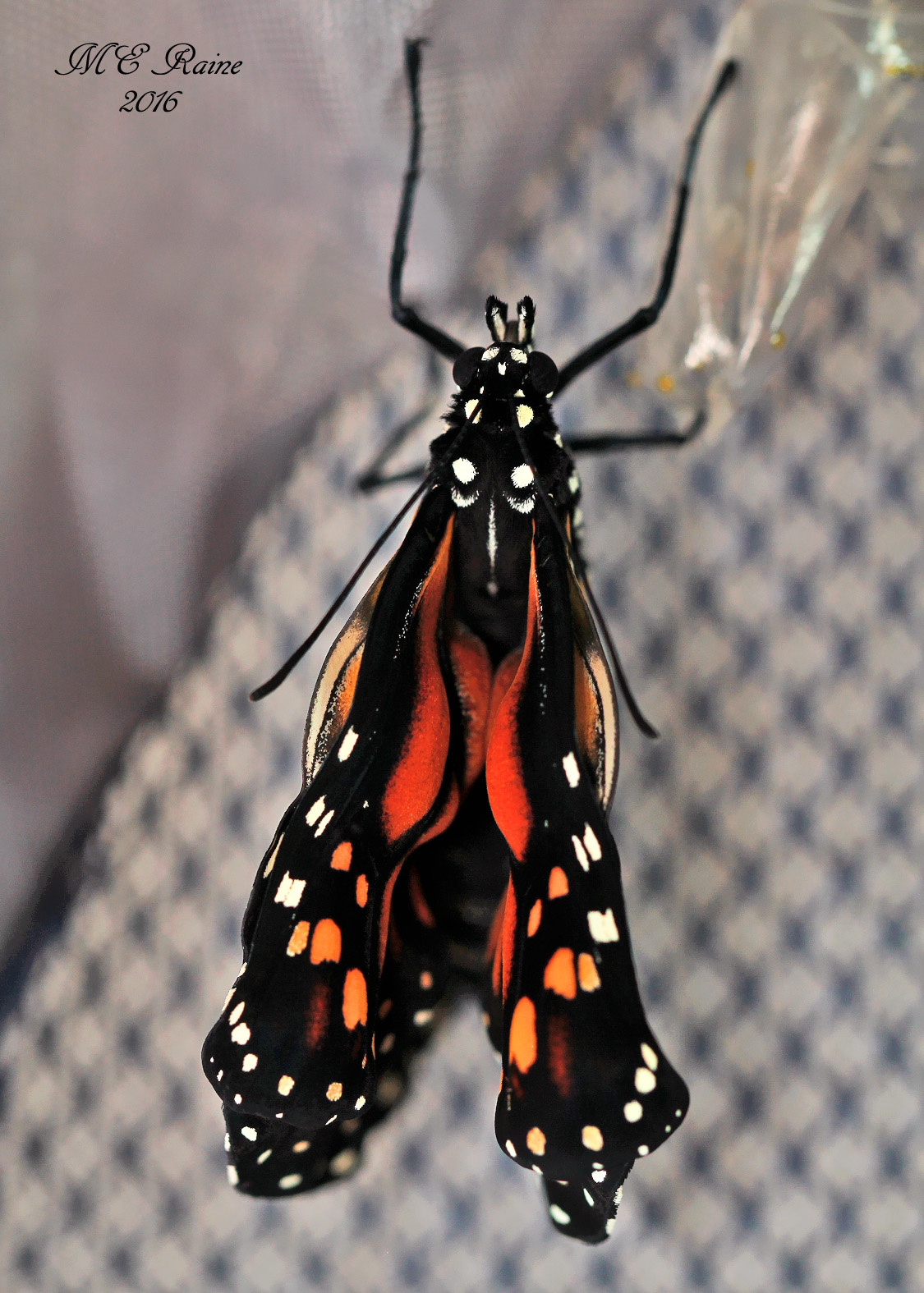 final-post-monarch-butterfly-emergence-of-no-6-w-fluids-pumping-into-wings-091816-7am-ok-wm