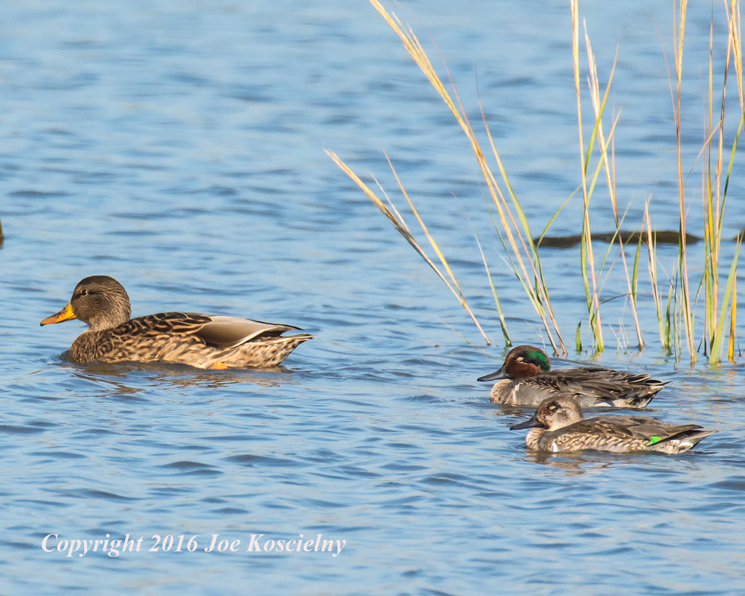 Mallard Green-winged Teals