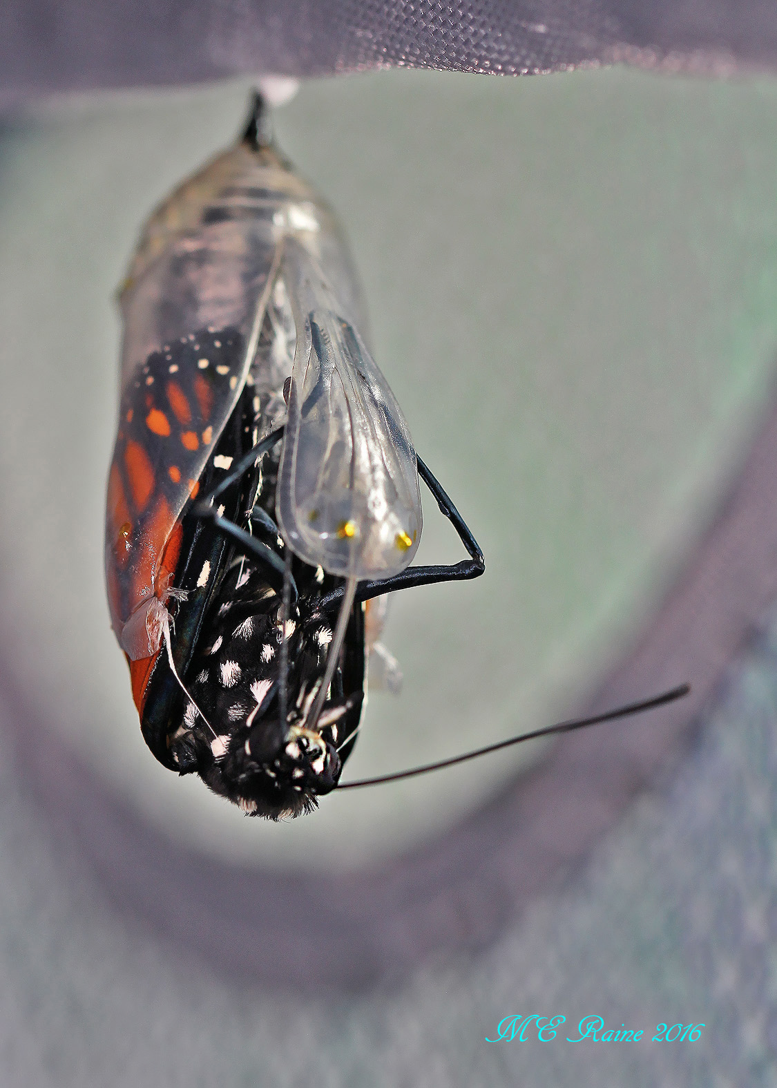 monarch-butterfly-emergence-of-no-13-in-safe-house-1-091916-9am-ok-wm