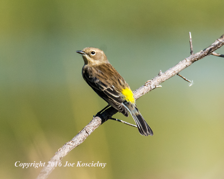 yellow-rumped-warbler-10-18-16