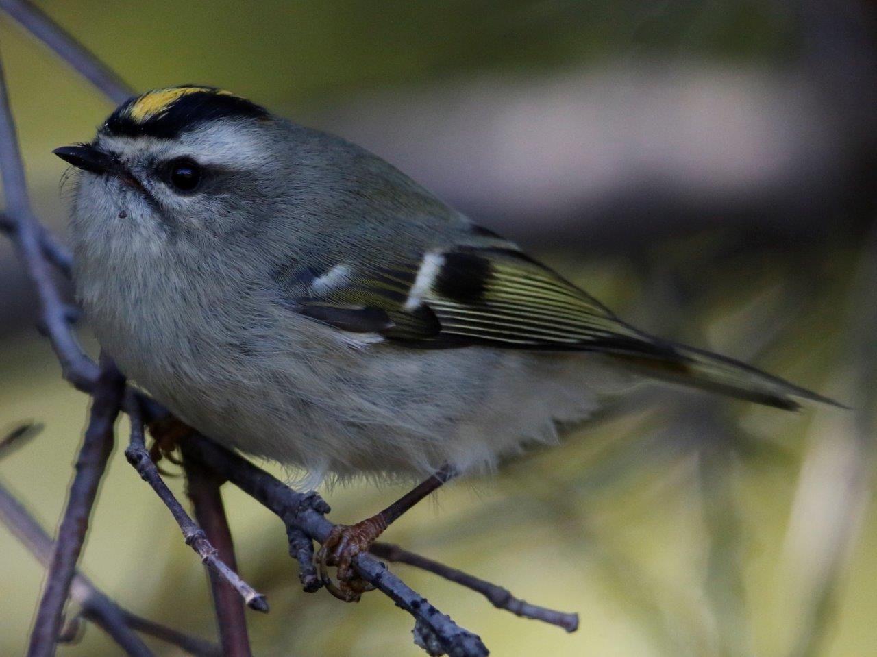 Gold-crowned Kinglet