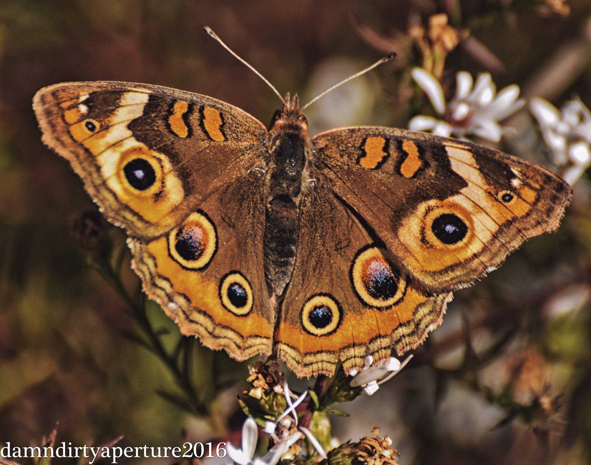 buckeye-butterfly-ceragno-dekorte-11-6-16