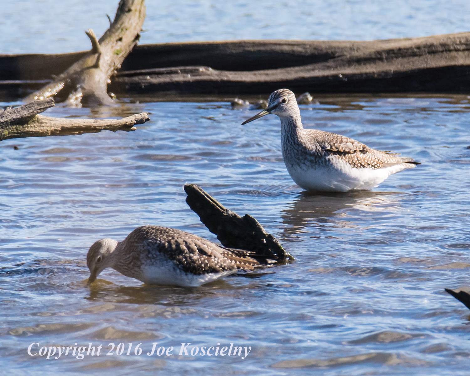 greater-yellowlegs-mcm-11-6-16