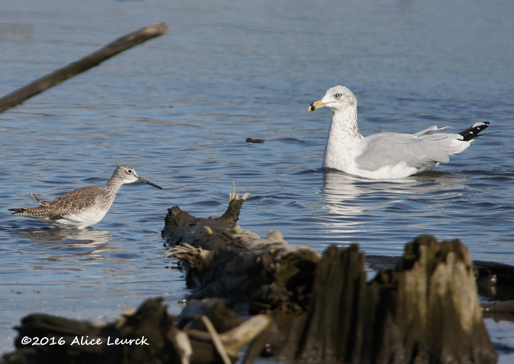 greater-yellowlegs-with-ring-billed-gull-alice-mcm-11-6-16