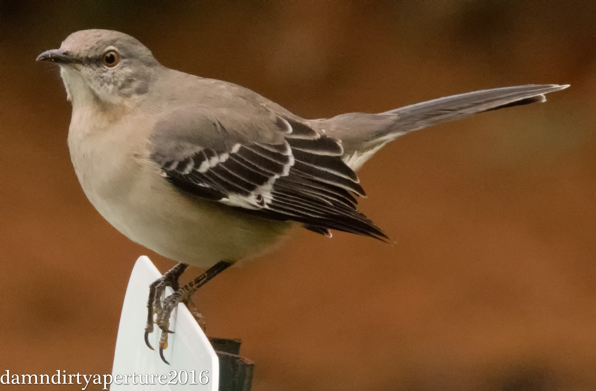 mockingbird-ceragno-11-16-16