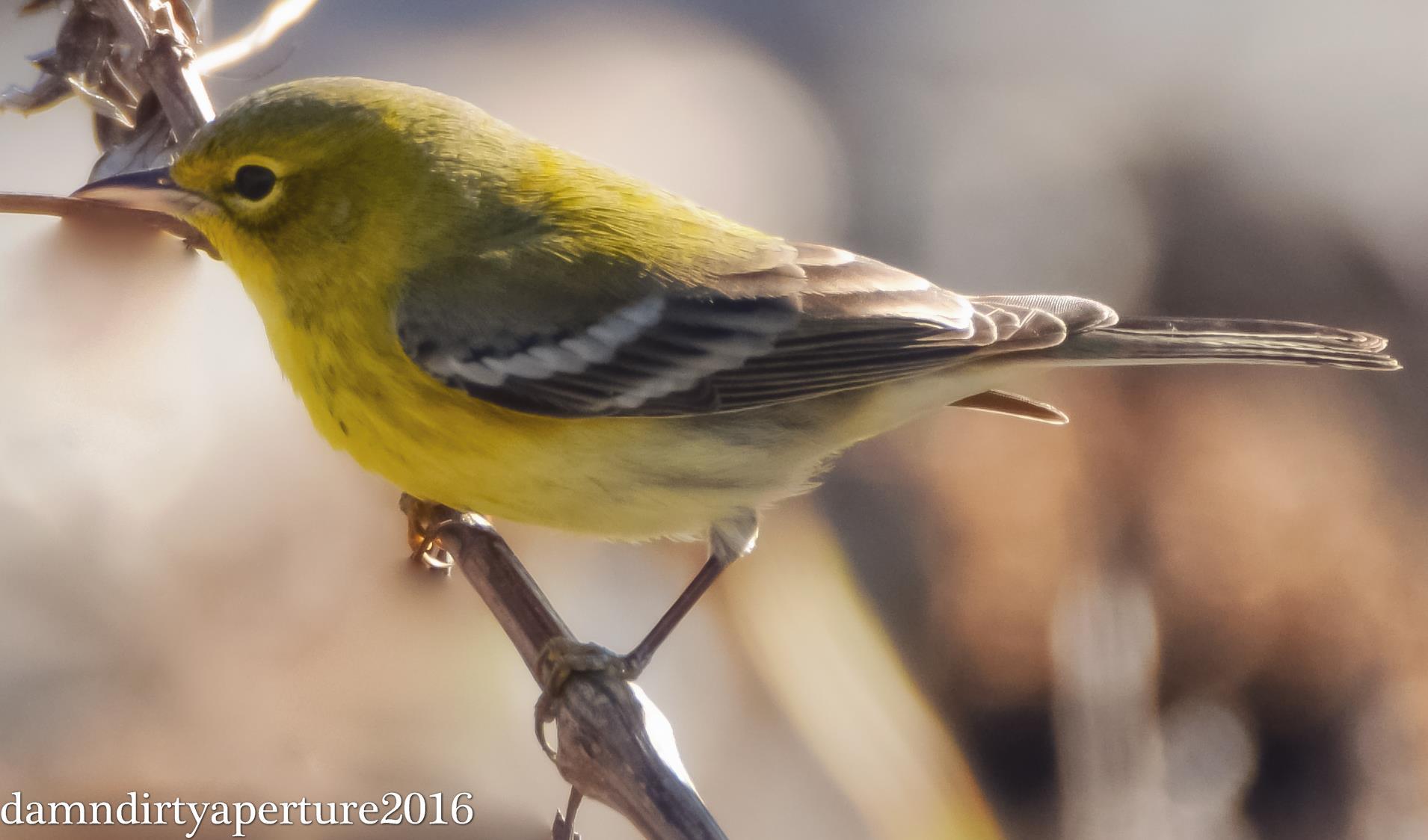 pine-warbler-ceragno-11-16-16