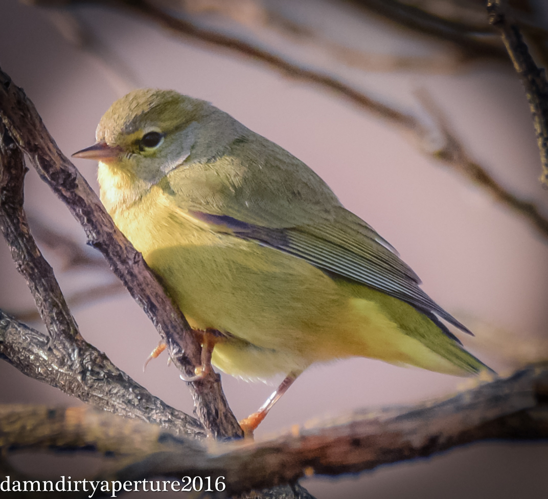 orange-crowned-warbler-ceragno-12-16