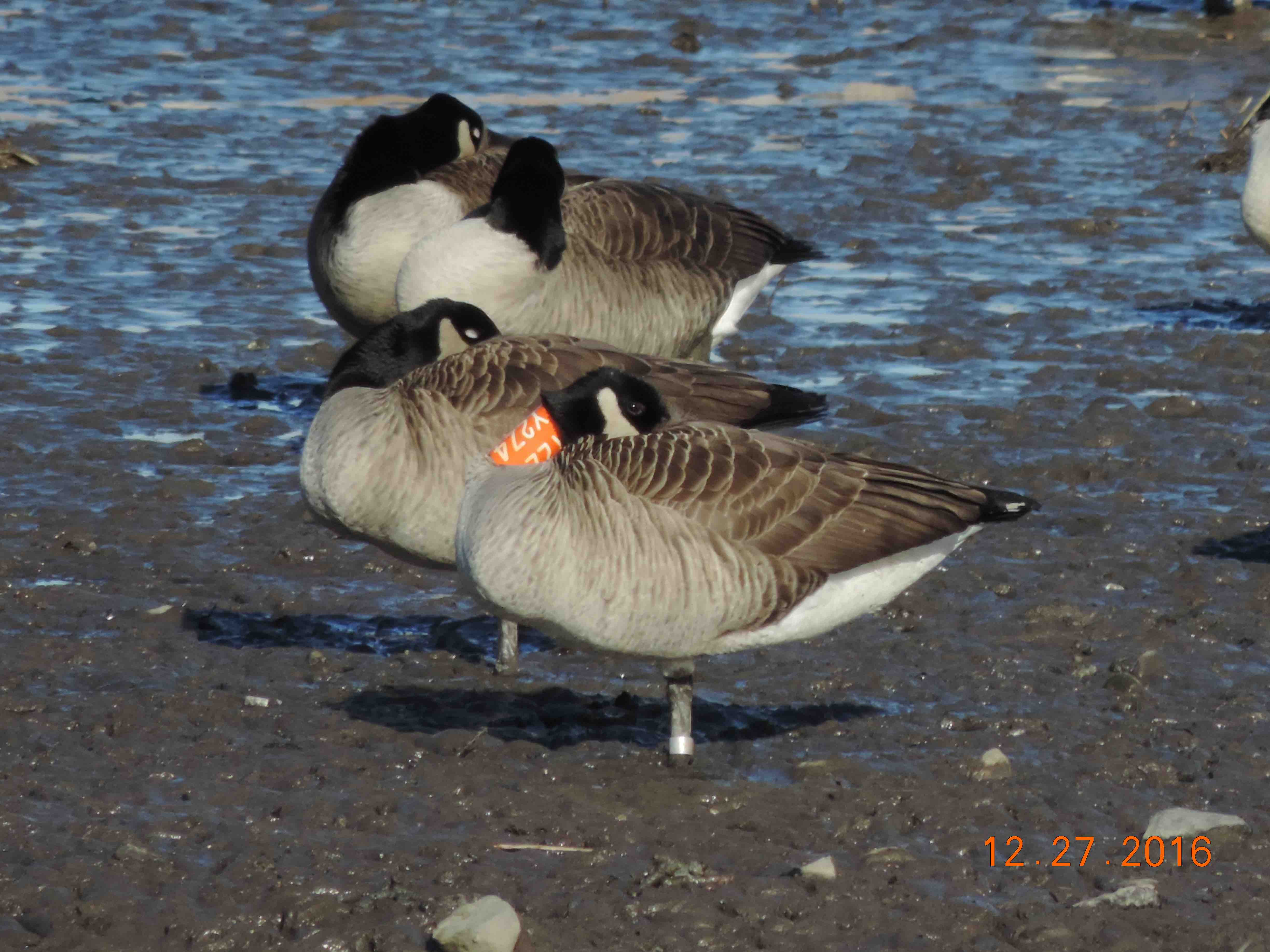 banded-goose