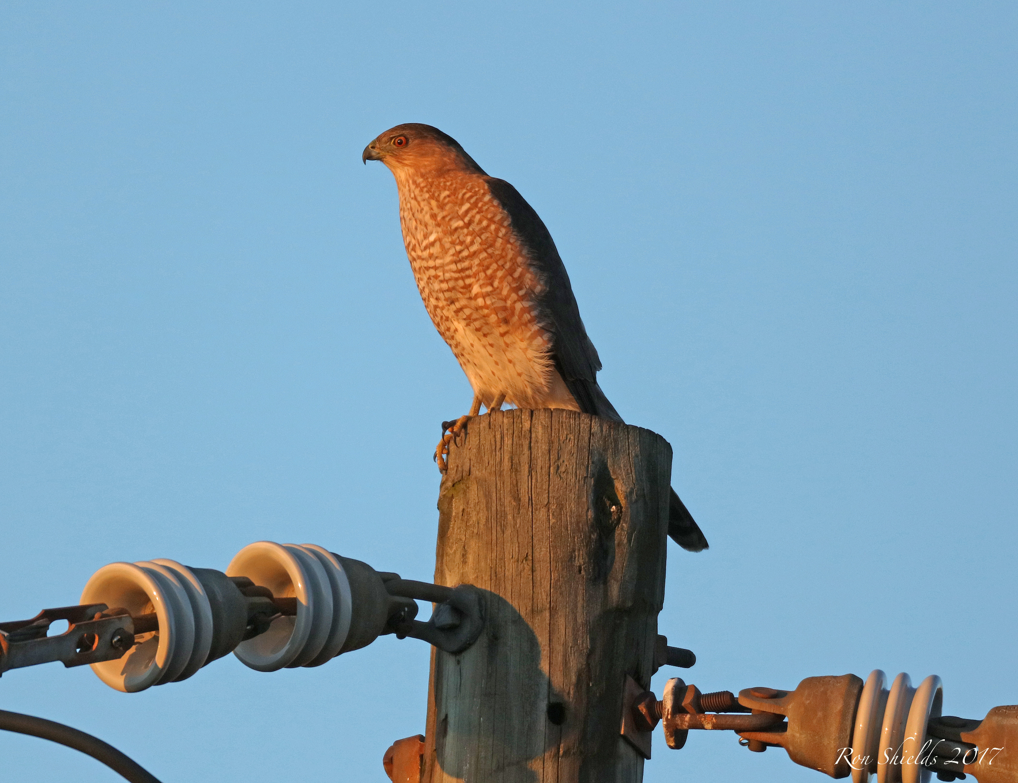Adult Coopers Hawk on Disposal Road