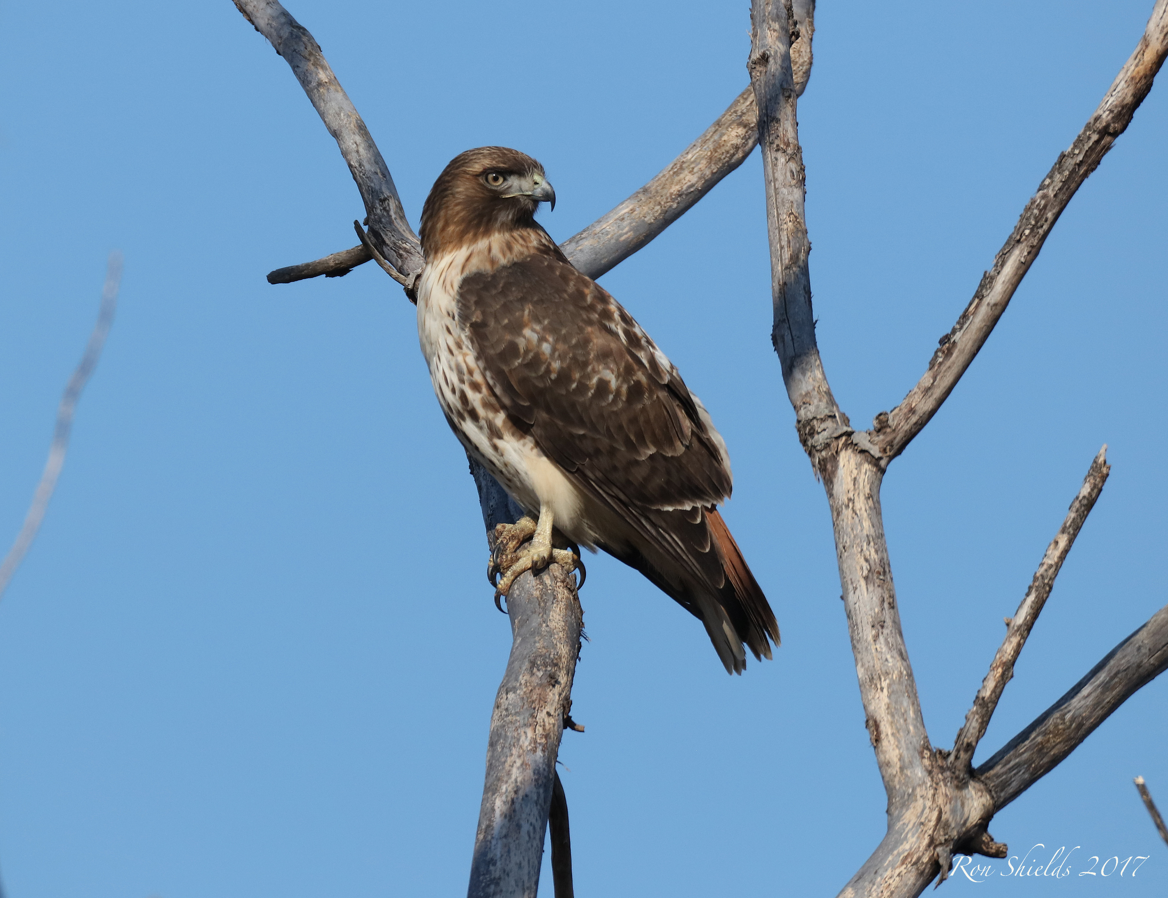 Adult Red-tailed Hawk at River Barge Park