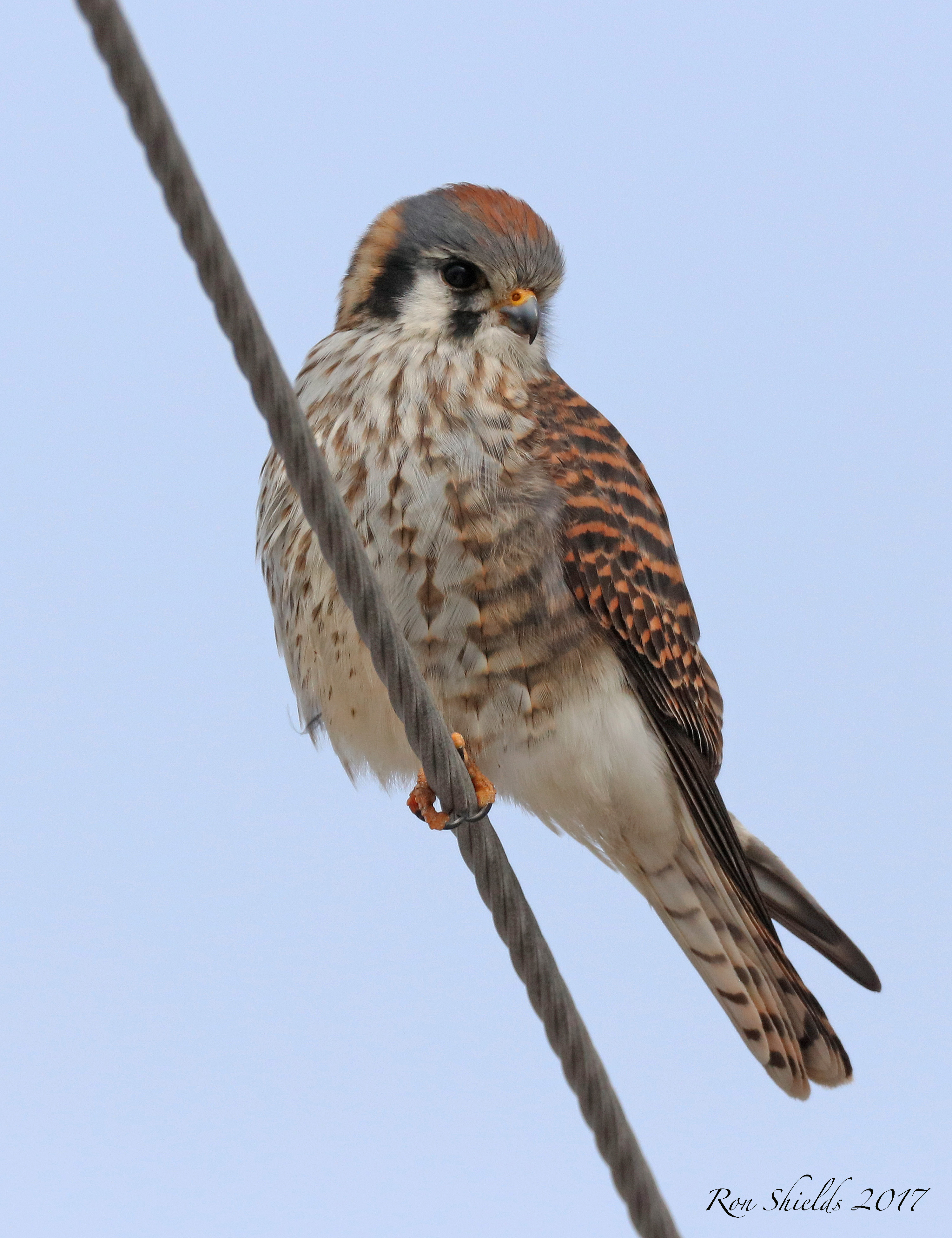 American Kestrel on Valley Brook Avenue