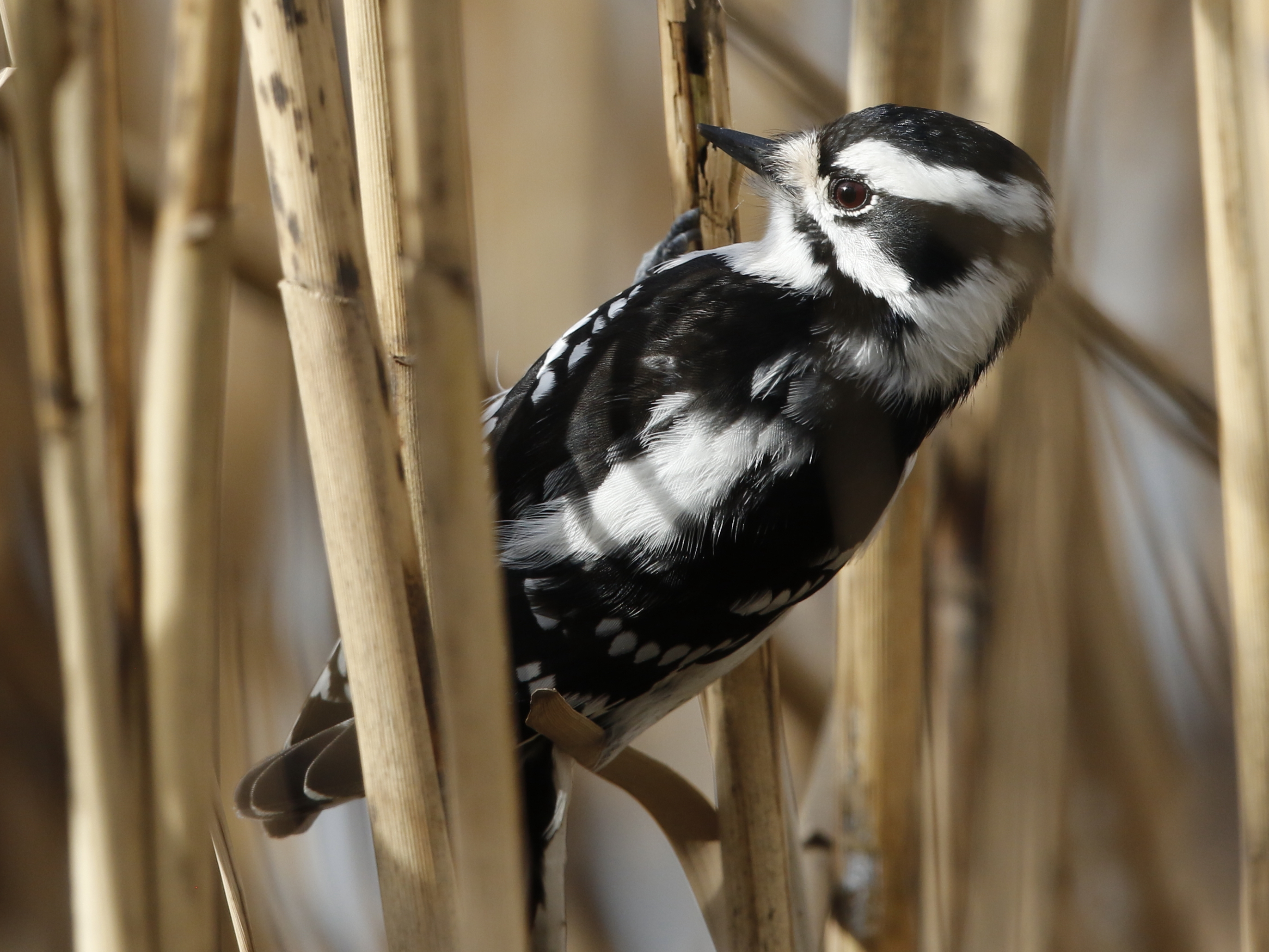Downy Woodpecker Cheeseman DeKorte 1.12.17