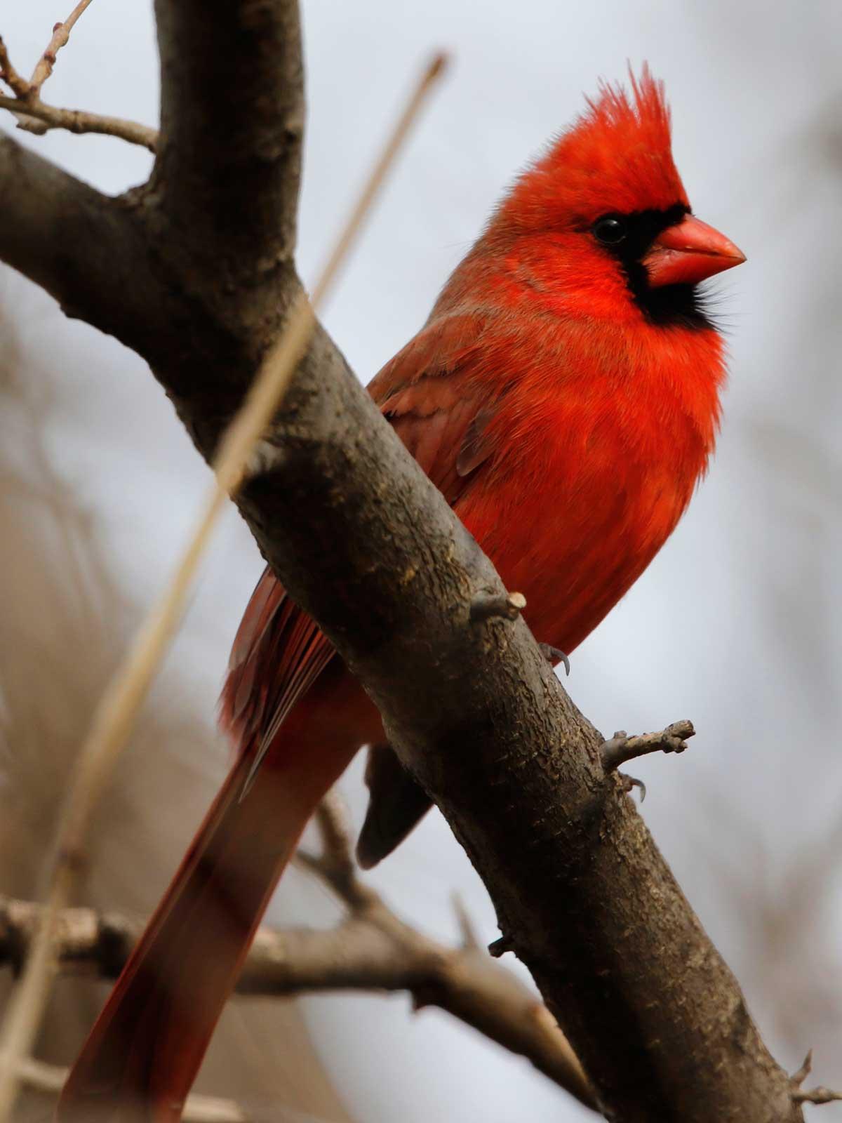cardinal cheesemandekorte 1.12.17