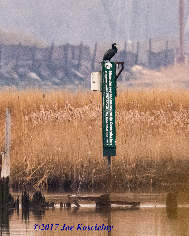 cormorant2 koscielny laurel hill 1.17.17