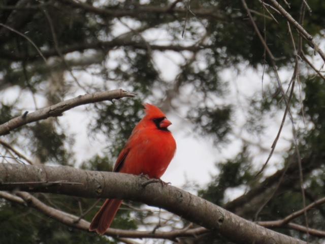 pinsdorf cardinal dekorte 1.14.17