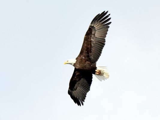 Bald Eagle At Round Valley Reservoir In Clinton Township