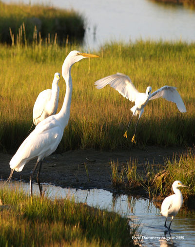 PRESS Egrets