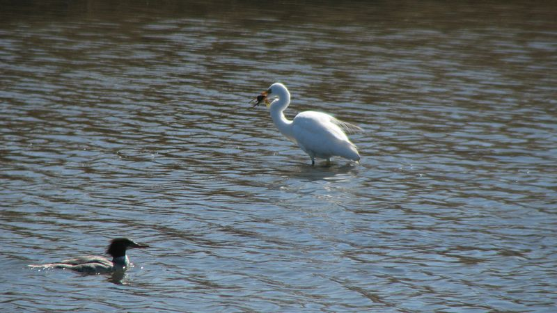 Great Egret with Fish and Merganser 3-21-09
