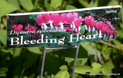 Bleeding hearts sign