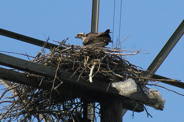 OSPREY NEST Near Swing Bridge Tower 006-1