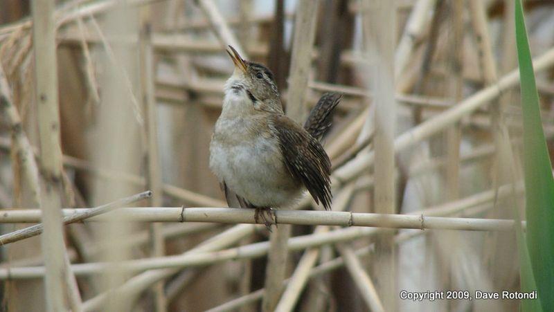 Marsh Wren 5-16-10