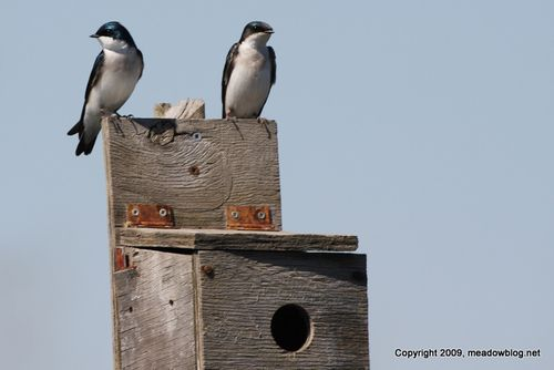 Tree swallows-1