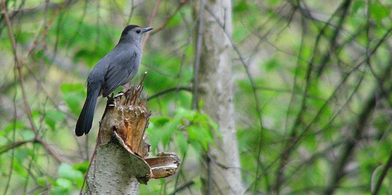 Gray Catbird 5-1-09