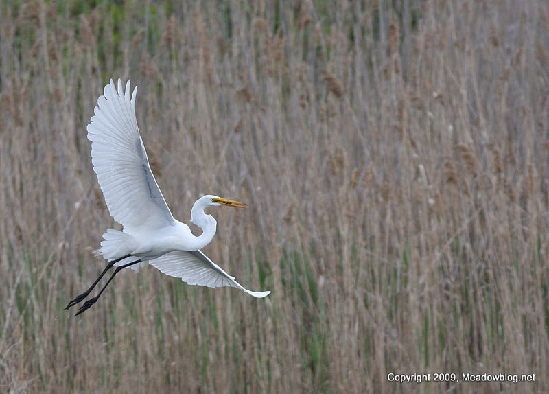 Great egret0512