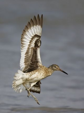 Eastern Willet, TX, April large