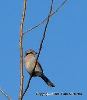 P1020864 Nothern Shrike