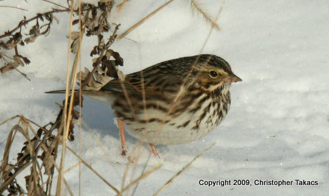 Savannah sparrow-1
