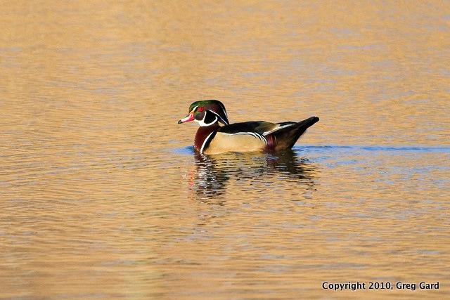 Wood_duck