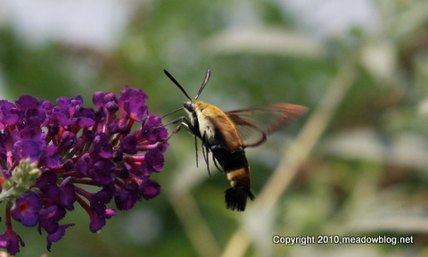 Clearwing moth_0131
