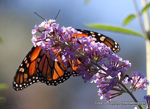 Monarchl_4901-1