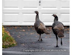 MC_turkeys007_0701_sb_tif_