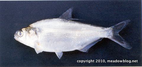 Gizzard shad-1