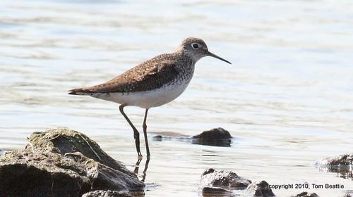 HarrierM_0012-Solitary_Sandpiper