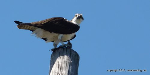 Osprey on ValleyBrook