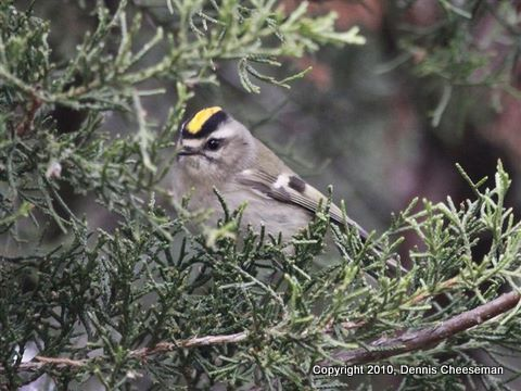 CheesemanGolden crowned kinglet