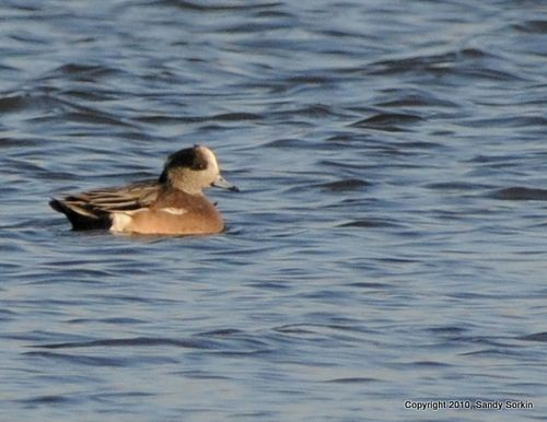 SS3_2084 American Wigeon